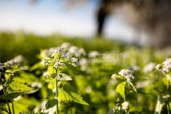 Aglio senape impianto piccolo fiori bianchi cielo Foto d'archivio © hraska
