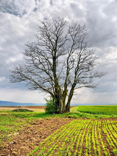 Vieux arbre frontière permanent champs printemps Photo stock © hraska