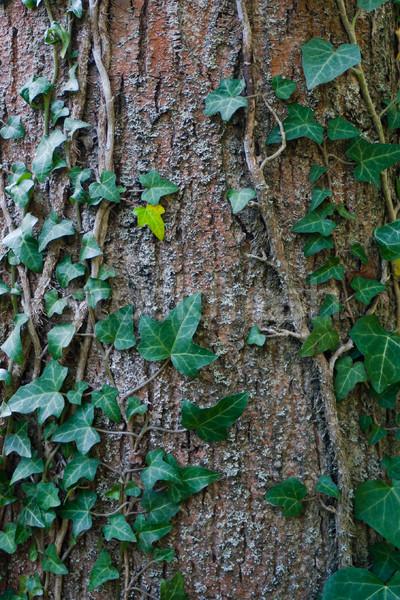 Tree overgrown with ivy Stock photo © hraska