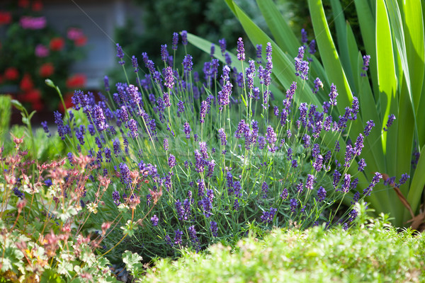 Lavender in the frontage garden Stock photo © hraska