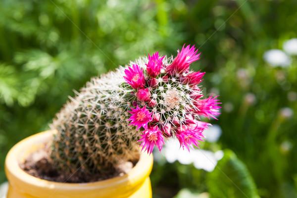 Cactus bloesems groene mooie paars Stockfoto © hraska