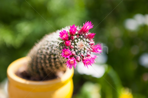 Purple flowers on cactus Stock photo © hraska