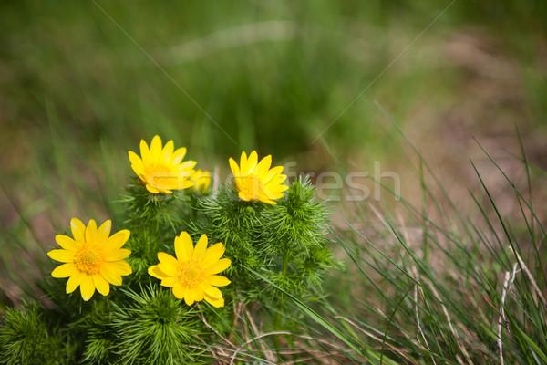 Adonis vernalis flower Stock photo © hraska