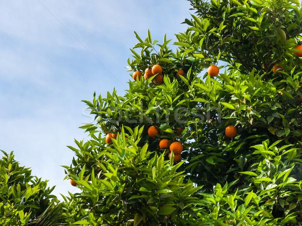 Ripe citrus tree Stock photo © hraska