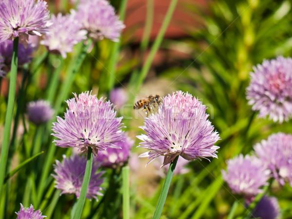 Honeybee on chives Stock photo © hraska