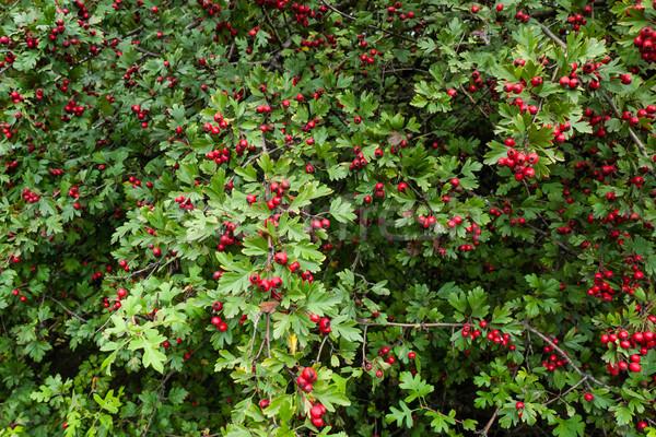 érett bogyók friss zöld levelek fa erdő Stock fotó © hraska