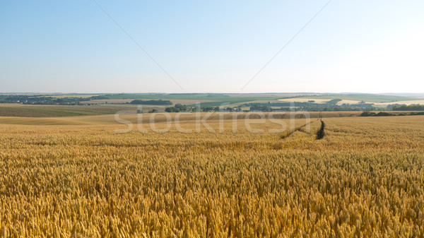 Wheat field Stock photo © hraska