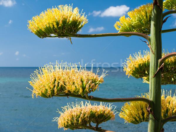 Agavé növény magas szár virágzó part Stock fotó © hraska