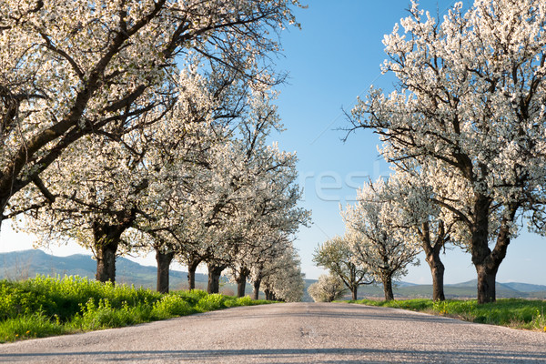Line of cherry trees Stock photo © hraska