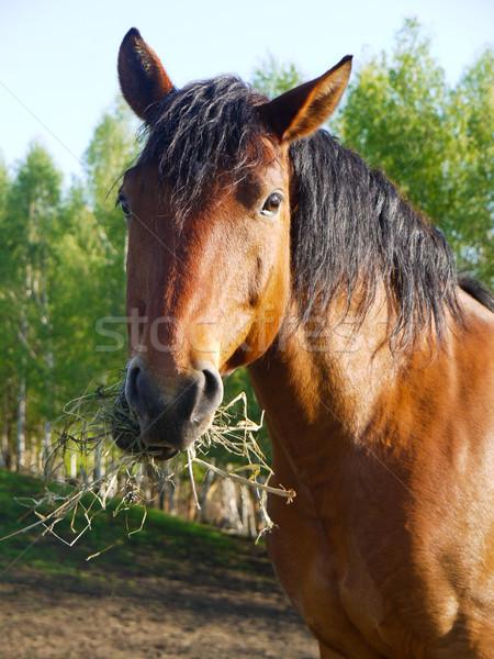Feeding horse Stock photo © hraska