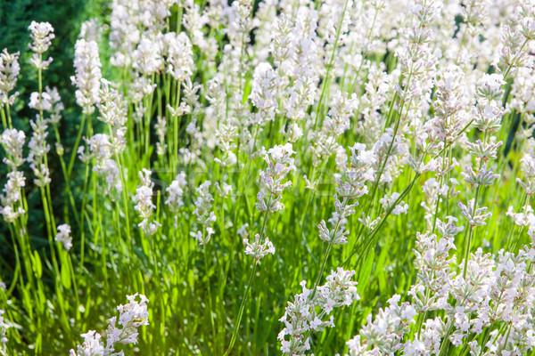 Közelkép fehér otthon kert frissen virágzó Stock fotó © hraska