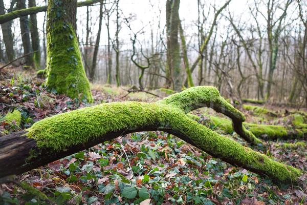 пышный зеленый мох филиала сломанной веточка Сток-фото © hraska