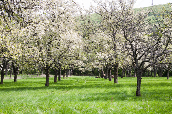 Kers boomgaard oude witte bloei Stockfoto © hraska