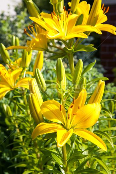 Lilyum bahçe sarı bahar Stok fotoğraf © hraska
