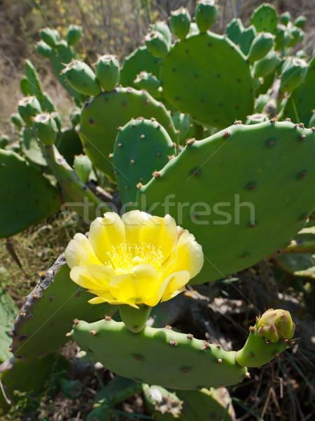 Cactus blooming Stock photo © hraska