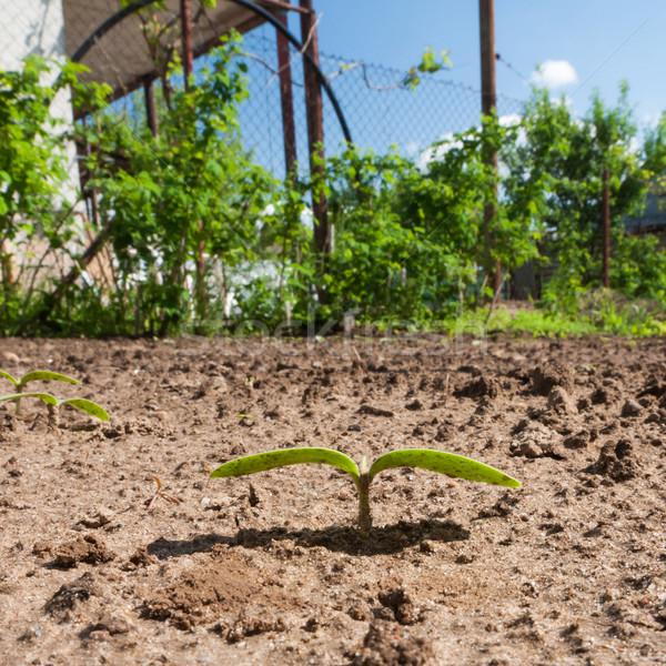 Spruit komkommer grond tuin voorjaar natuur Stockfoto © hraska