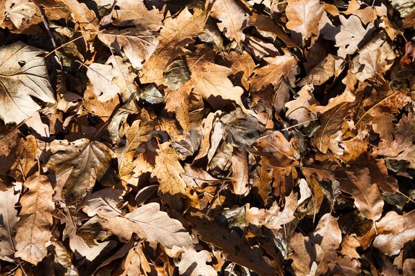 Tölgy juhar levelek erdő színes őszi levelek Stock fotó © hraska