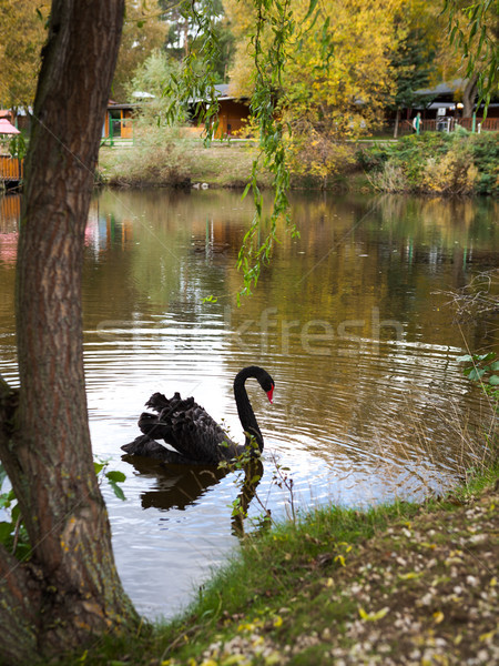 Belle cygne lac rive noir natation Photo stock © hraska
