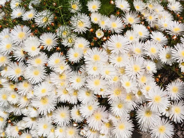 Fehér közelkép kilátás fehér virágok nedvdús kert Stock fotó © hraska