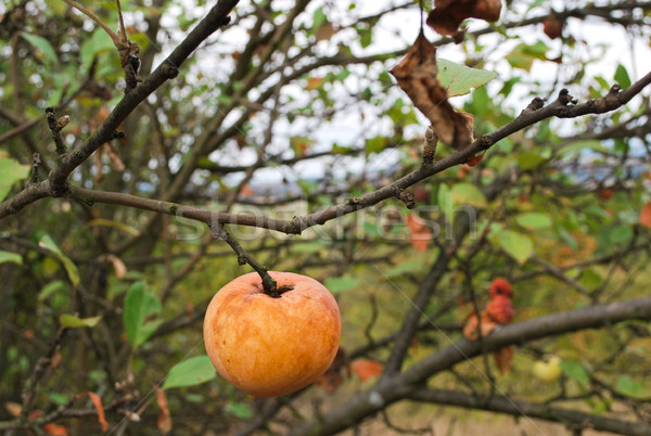 Apple on a branch Stock photo © hraska