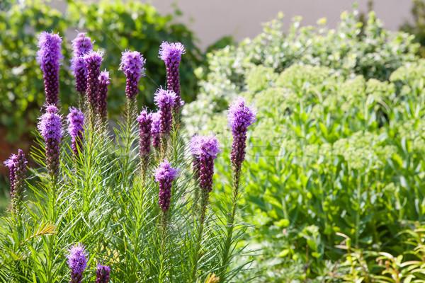 Viola fiori denso star impianti giardino fiorito Foto d'archivio © hraska