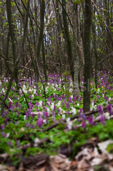 White and purple Hollowroot flowers Stock photo © hraska