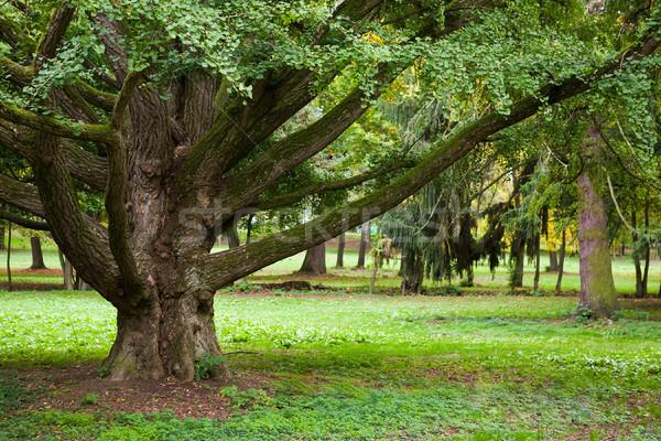 Huge trunk of an old Ginkgo tree Stock photo © hraska