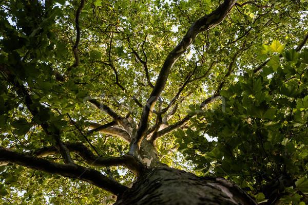 Fa korona hatalmas repülőgép világoszöld fa Stock fotó © hraska