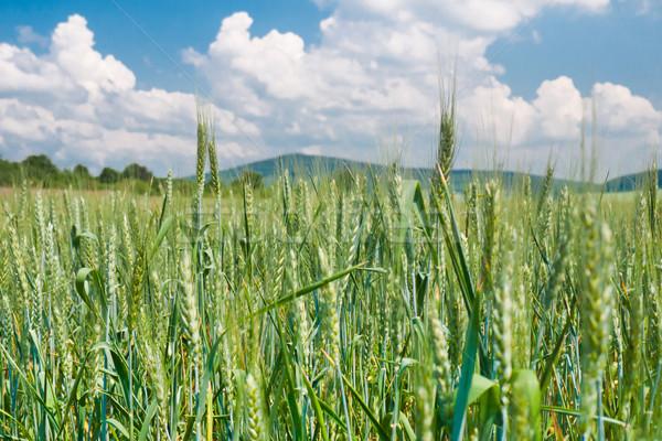 Fresh and ripened barley Stock photo © hraska