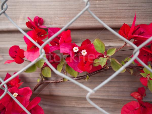Rosso fiori fiore crescita dietro giardino Foto d'archivio © hraska