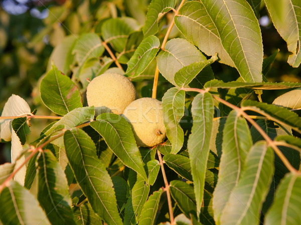 Groeiend boom groene tak blad vruchten Stockfoto © hraska