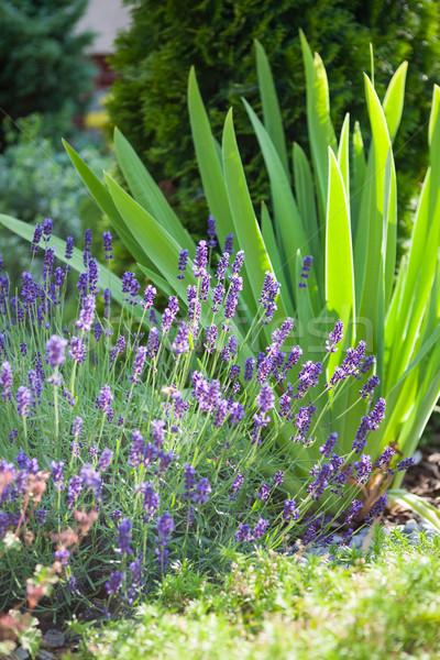 Fraîches lavande plantes herbe usine fleur Photo stock © hraska