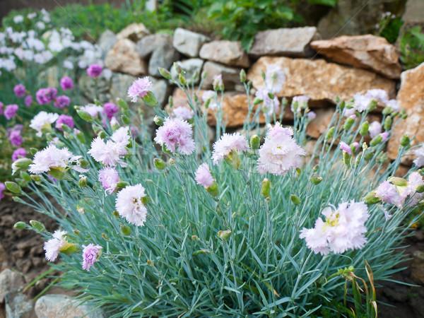 Carnation flowers Stock photo © hraska