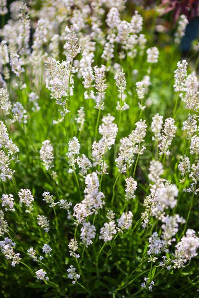 Levendula virágok közelkép mező orvosi szépség Stock fotó © hraska