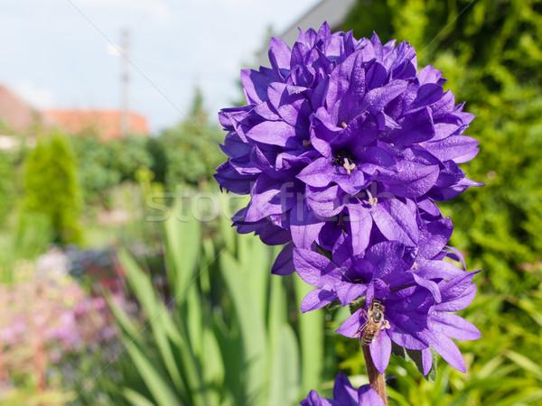 Clustered bellflower Stock photo © hraska