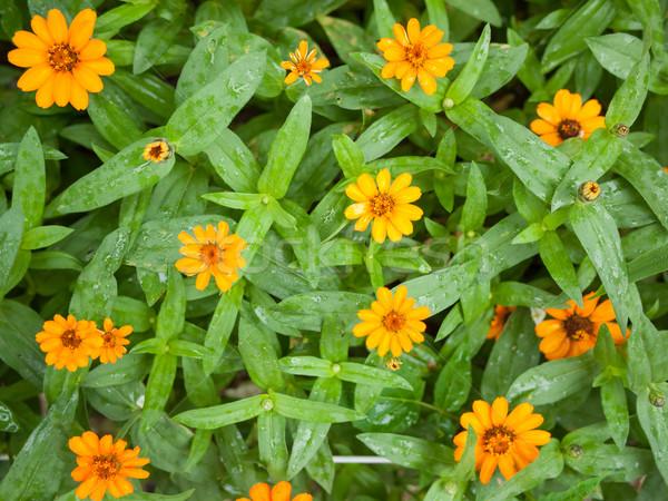 Arancione fiori bella fioritura primavera natura Foto d'archivio © hraska
