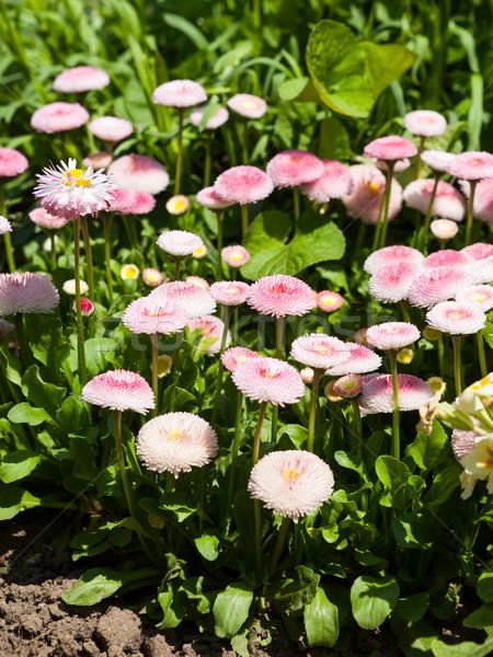 Bellis perennis flower Stock photo © hraska