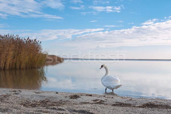 Cisne lago costa branco europeu blue sky Foto stock © hraska
