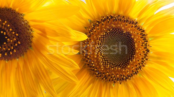 Primo piano girasole giallo girasoli petalo Foto d'archivio © hraska