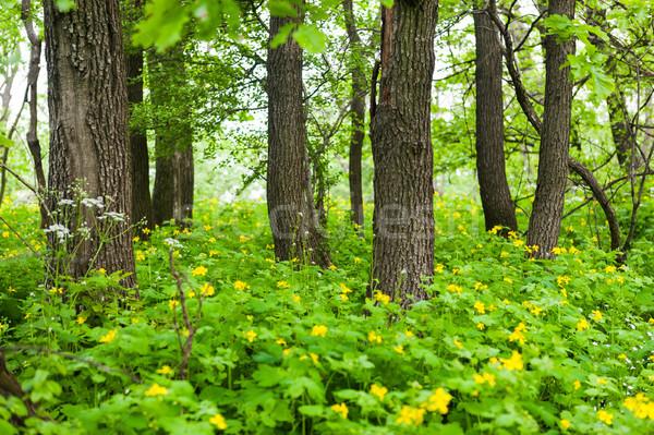 Citromsárga virágok virágzó fák zöld erdő Stock fotó © hraska