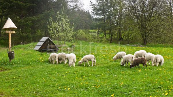 Schapen vers groene bos weide Stockfoto © hraska