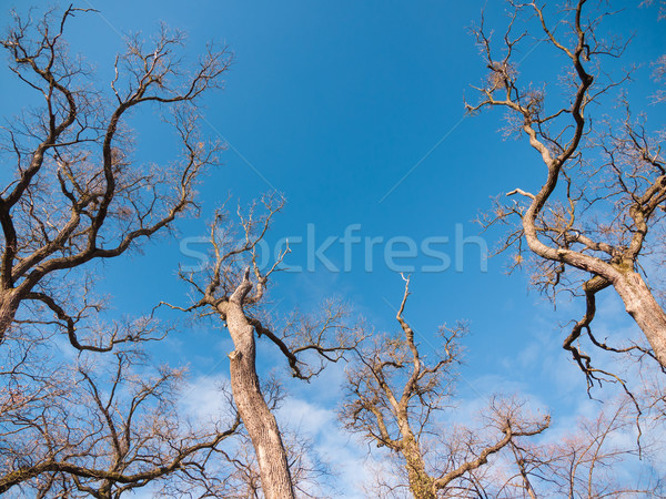 Early spring treetops Stock photo © hraska