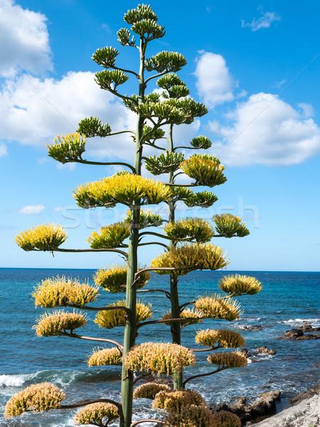 Virágzó agavé nagy növény növekvő sziget Stock fotó © hraska