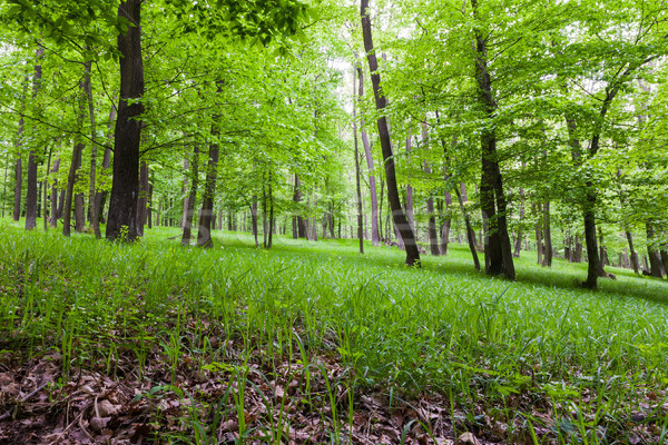 Forest landscape with floor covered by fresh green grass Stock photo © hraska