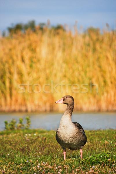 Magányos vad libák természetes élőhely nyár Stock fotó © hraska