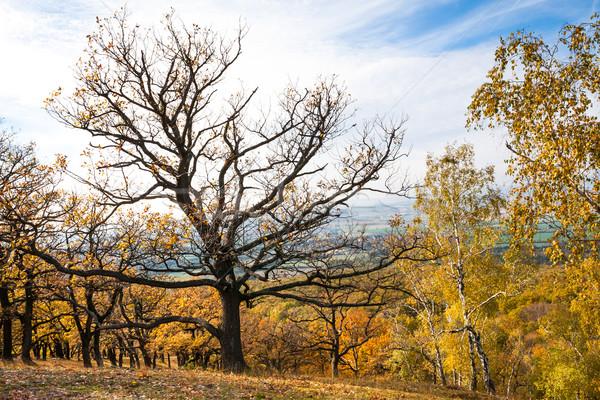 Citromsárga erdő uralkodó tölgyfa tornyok ősz Stock fotó © hraska