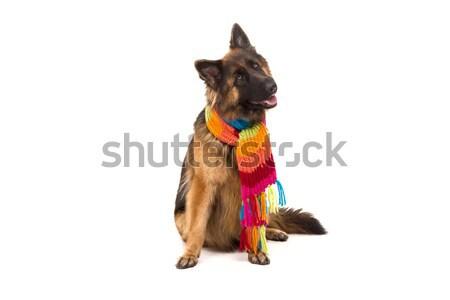 Stockfoto: Herder · hond · geïsoleerd · witte · natuur · politie