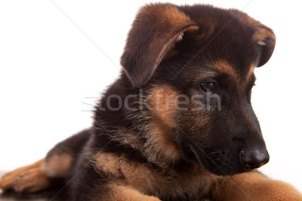 пастух собака изолированный белый природы весело Сток-фото © hsfelix