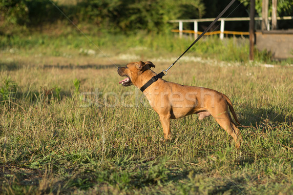 Staffordshire bull terrier Stock photo © hsfelix