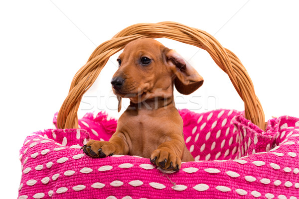 Stock photo: Teckel puppy